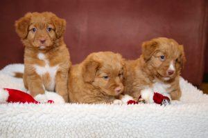 Toller Puppies